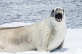 Crabeater Seal (Lobodon Carcinophaga) Showing Teeth While Resting on Ice Floe in Paradise Bay Photographic Print by Michael Nolan