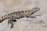 Juvenile Isla San Esteban Spiny-Tailed Iguana (Ctenosaura Conspicuosa) Basking in the Sun Photographic Print by Michael Nolan