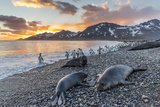 Southern Elephant Seal (Mirounga Leonina), Weaner Pups at Sunrise, Gold Harbour Photographic Print by Michael Nolan