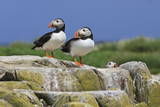 Atlantic Puffins (Fratercula Arctica) on a Rock Against a Blue Sky, Inner Farne, Farne Islands Photographic Print by Eleanor Scriven