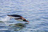 Adult Gentoo Penguin (Pygoscelis Papua) Porpoising, Hannah Point, Livingston Island Photographic Print by Michael Nolan