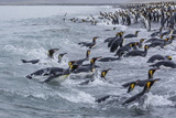 King Penguins (Aptenodytes Patagonicus) Returning from Sea at Salisbury Plain Photographic Print by Michael Nolan