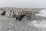 Antarctic Fur Seal (Arctocephalus Gazella) Charging Through King Penguins at Salisbury Plain Photographic Print by Michael Nolan