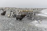Antarctic Fur Seal (Arctocephalus Gazella) Charging Through King Penguins at Salisbury Plain Photographic Print by Michael Nolan
