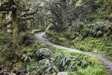 Ferns and Moss in Forest Near Lake Mackenzie, Routeburn Track, Fiordland National Park Photographic Print by Stuart Black