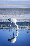 Puna (James) Flamingo (Parina Chica) Wading in Shallow Water at Laguna De Chaxa (Chaxa Lake) Photographic Print by Kimberly Walker