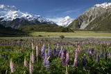 Lupins and Mount Cook, Mount Cook Village, Mount Cook National Park Photographic Print by Stuart Black