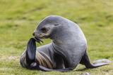 Antarctic Fur Seal (Arctocephalus Gazella) Female Ready to Give Birth Photographic Print by Michael Nolan