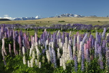 Field of Lupins with Southern Alps Behind, Near Lake Tekapo, Canterbury Region Photographic Print by Stuart Black