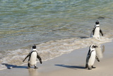 Three African Penguins (Jackass Penguins) Coming Ashore from the Ocean Photographic Print by Kimberly Walker