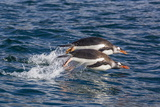 Adult Gentoo Penguins (Pygoscelis Papua) Porpoising for Speed in Cooper Bay Photographic Print by Michael Nolan