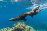 California Sea Lions (Zalophus Californianus) Underwater at Los Islotes Photographic Print by Michael Nolan