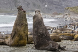 Southern Elephant Seal (Mirounga Leonina) Bulls Fighting for Territory for Mating Photographic Print by Michael Nolan