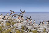 Atlantic Puffins (Fratercula Arctica) Take Flight from a Cliff-Top, Inner Farne, Farne Islands Photographic Print by Eleanor Scriven