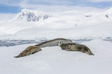 Adult Crabeater Seals (Lobodon Carcinophaga) Resting on Ice Floe in Neko Harbor Photographic Print by Michael Nolan