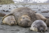 Southern Elephant Seal (Mirounga Leonina) Bull Holding Female Down for Mating Photographic Print by Michael Nolan