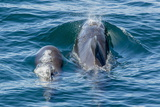 Short-Finned Pilot Whale (Globicephala Macrorhynchus) Cow and Calf Surfacing Off Isla San Marcos Photographic Print by Michael Nolan