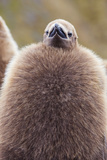 King Penguin (Aptenodytes Patagonicus), Close Up of Okum Boy Chick, Gold Harbour Photographic Print by Michael Nolan