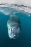 Adult Leopard Seal (Hydrurga Leptonyx) Inspecting the Camera Above and Below Water at Damoy Point Photographic Print by Michael Nolan