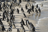 African Penguin (Jackass Penguin) Colony, Boulders Beach National Park, Simonstown Photographic Print by Kimberly Walker