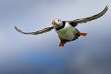 Atlantic Puffin (Fratercula Arctica) in Flight, Inner Farne, Farne Islands, Northumberland, England Photographic Print by Eleanor Scriven