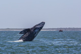 California Gray Whale (Eschrichtius Robustus) Breaching in Magdalena Bay Photographic Print by Michael Nolan