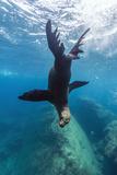 California Sea Lion (Zalophus Californianus) Underwater at Los Islotes, Baja California Sur, Mexico Photographic Print by Michael Nolan