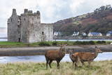 Red Deer, Lochranza, Isle of Arran, Scotland, United Kingdom, Europe Photographic Print by Ann and Steve Toon