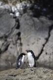 Fiordland Crested Penguins (Tawaki), Doubtful Sound, Fiordland National Park Photographic Print by Stuart Black