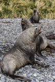 Antarctic Fur Seal (Arctocephalus Gazella) Males Defending Territories Photographic Print by Michael Nolan