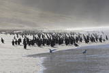 Gentoo Penguin (Pygoscelis Papua) and Sea Spray, the Neck, Saunders Island Photographic Print by Eleanor Scriven