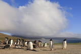 Gentoo Penguins (Pygoscelis Papua) Breeding Colony, the Neck, Saunders Island Photographic Print by Eleanor Scriven