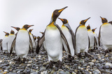 King Penguins (Aptenodytes Patagonicus) at Breeding and Nesting Colony at Salisbury Plain Photographic Print by Michael Nolan