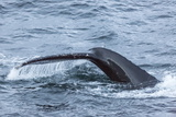Humpback Whale (Megaptera Novaeangliae), Flukes-Up Dive, English Strait Photographic Print by Michael Nolan