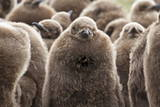 King Penguin (Aptenodytes Patagonicus) Chick Creche, Volunteer Point, East Falkland Photographic Print by Eleanor Scriven