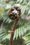 Koru Spiral Shaped Unfurling Silver Fern Fronds, Fiordland National Park, South Island Photographic Print by Stuart Black