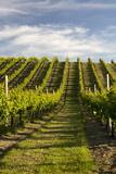 Vineyards Along Delta Lake Heights Road, Renwick, Near Blenheim Photographic Print by Stuart Black