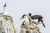Antarctic Shags (Phalacrocorax [Atriceps] Bransfieldensis) Photographic Print by Michael Nolan