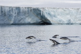 Porpoising Adult Adelie Penguins (Pygoscelis Adeliae), Brown Bluff, Weddell Sea Photographic Print by Michael Nolan