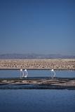 Andean Flamingoes at Laguna De Chaxa (Chaxa Lake), San Pedro, Chile, South America Photographic Print by Kimberly Walker