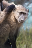 Chacma Baboon (Papio Ursinus), Cape of Good Hope, Table Mountain National Park Photographic Print by Kimberly Walker