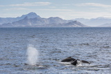 Adult Humpback Whales (Megaptera Novaeangliae) Feeding Near Ilulissat, Greenland, Polar Regions Photographic Print by Michael Nolan