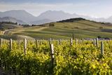 Vineyards, Renwick, Near Blenheim, Marlborough Region, South Island, New Zealand, Pacific Photographic Print by Stuart Black