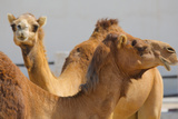 Camels in Camel Souq, Waqif Souq, Doha, Qatar, Middle East Photographic Print by Frank Fell