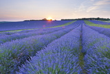 Lavender Field at Snowshill Lavender, the Cotswolds, Gloucestershire, England Fotodruck von Matthew Williams-Ellis