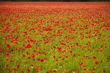 Poppy Field, Newark, Nottinghamshire, England, United Kingdom, Europe Photographic Print by Mark Mawson