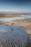 Flamingoes in Shallow Water at Laguna De Chaxa (Chaxa Lake) at Dawn, San Pedro, Chile Photographic Print by Kimberly Walker