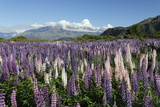 Field of Lupins Along Beacon Point Road, Wanaka, Otago, South Island, New Zealand, Pacific Photographic Print by Stuart Black