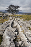Lone Tree at Winskill Stones Near Settle, Yorkshire Dales, Yorkshire, England Photographic Print by Mark Sunderland