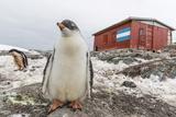Gentoo Penguin Chicks (Pygoscelis Papua) at Argentine Rescue Hut, Mikkelsen Harbor, Trinity Island Photographic Print by Michael Nolan